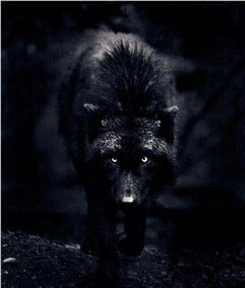 350x700px-LL-42366e8e_Dark_Wolf_by_DaRkDesaSteR1