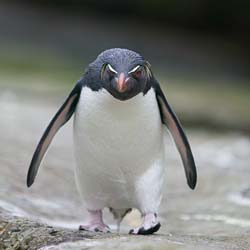 A-very-angry-penguin.jpeg